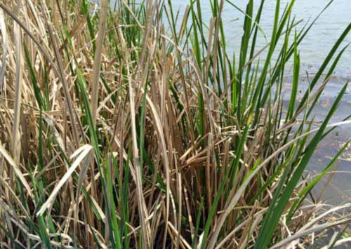 Giant Cutgrass