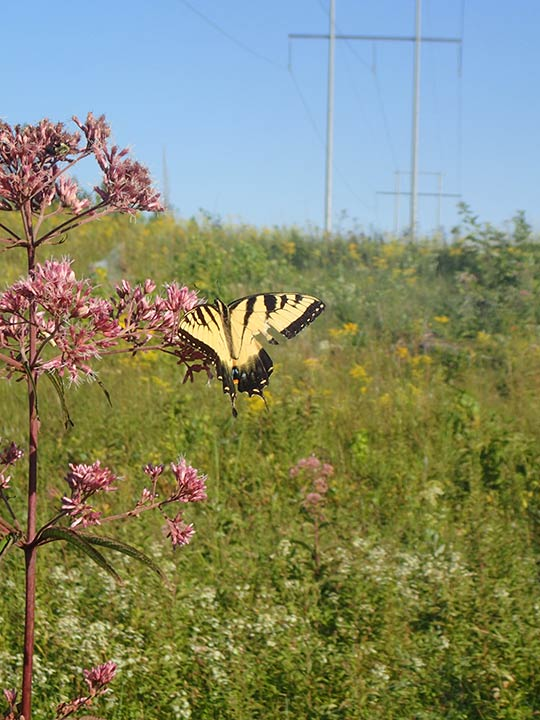 butterfly on a flower in a transmission right of way