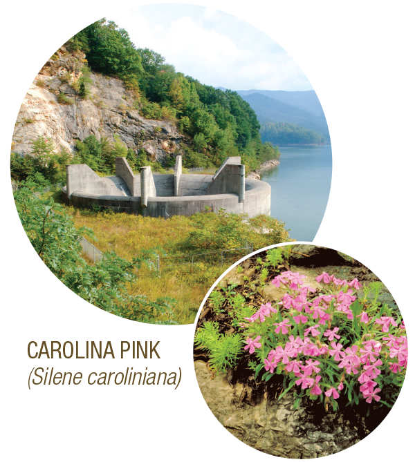 Carolina Pink
