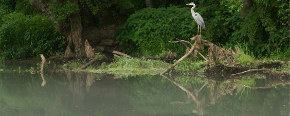 heron by water